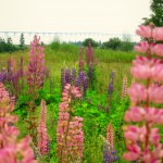 Lupins with bridge view