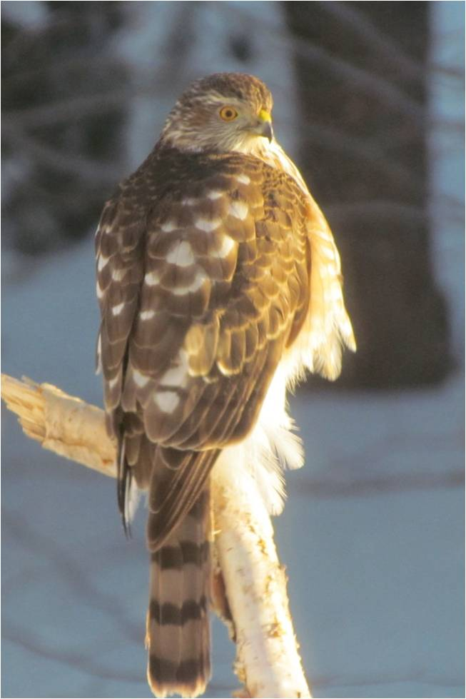 Ron Arvidson 2nd DREAM - Sharp Shinned Hawk