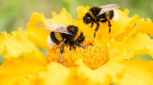 Save the bumble bees by planting these flowers - CNN